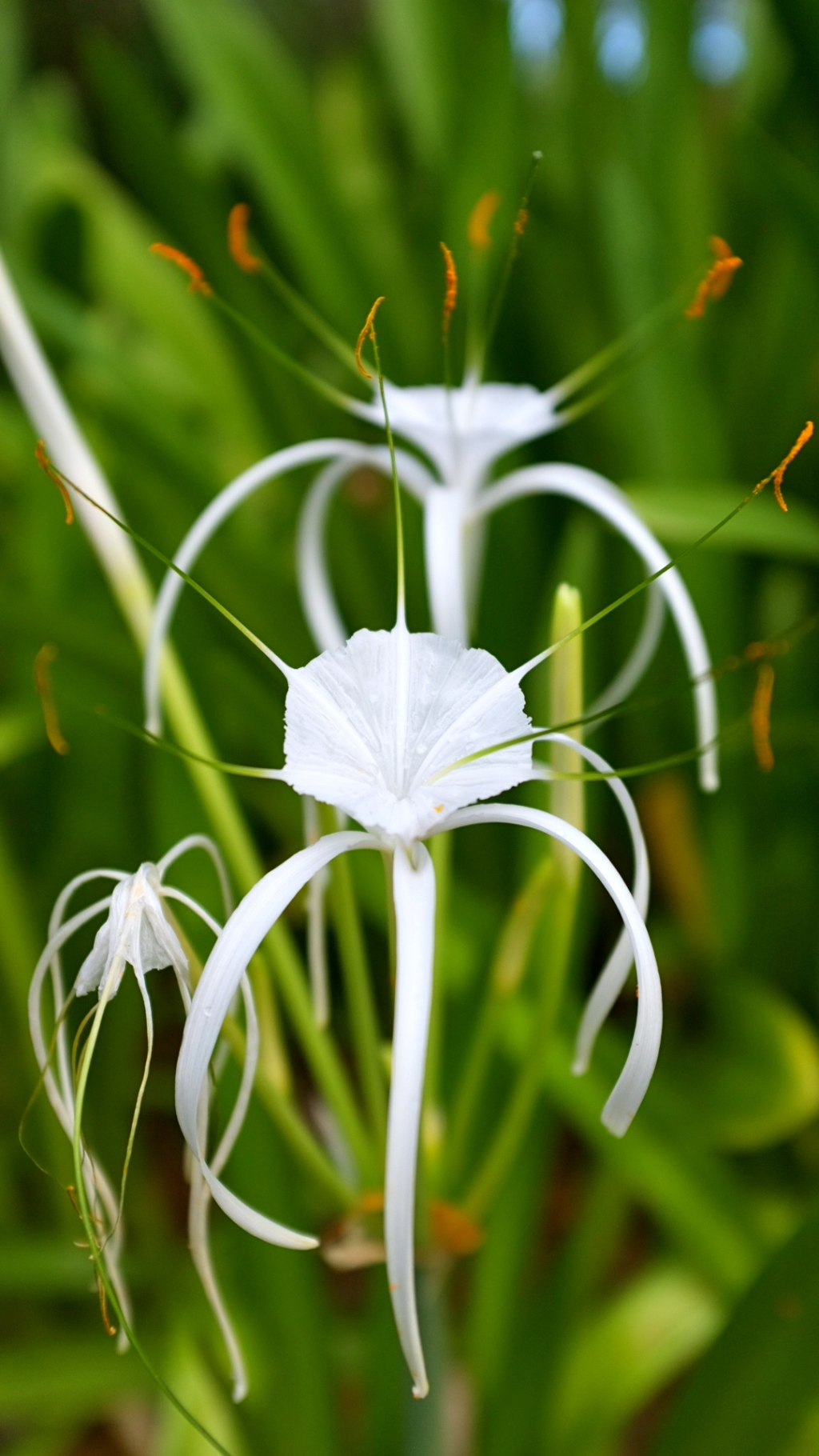 Fleur des Caraibes